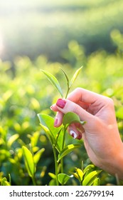 Fresh tea leaves in fingers on plantation at chiangrai, thailand