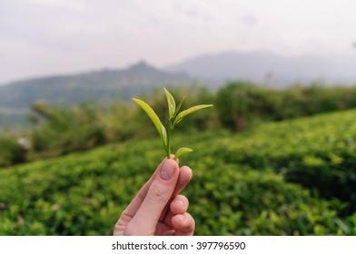 Fresh tea leaves in fingers over tea bushes on plantation