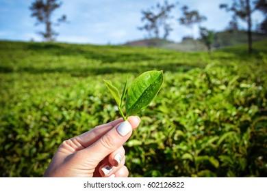 Fresh tea leaves in hand on  Sri-Lanka plantations. Selective focus