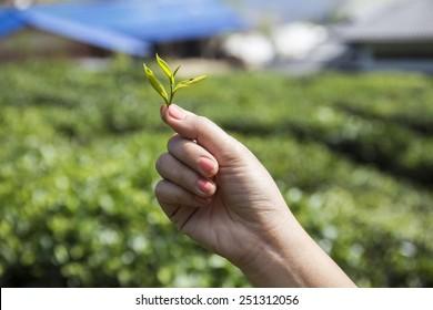 Fresh tea leaves in hand  over tea bushes on plantation  over tea bushes on plantation