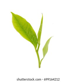 Fresh tea leaves isolated on the white background.
