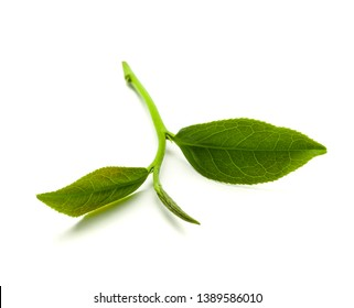 Fresh tea leaves on a white background