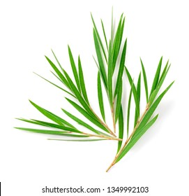 frischer Teebaum einzeln auf weißem Hintergrund, Draufsicht