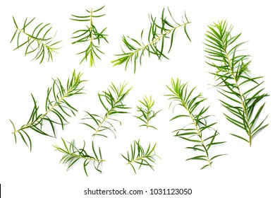 fresh tea tree leaves isolated on white