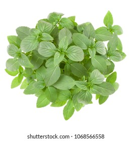 Fresh Thai basil herbs bouquet isolated on white background cutout. Top view.