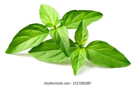 fresh Thai Basil isolated on white background