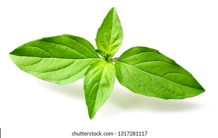 fresh Thai Basil isolated on white background