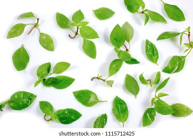 Fresh thai green basil leaves isolated on white background, top view