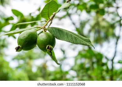 Fresh Thai Guavas organic and Biodynamic