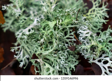 Fresh thallus species of lichen Oakmoss (Evernia prunastri) close up on a background of leaves with moss in autumn. Ina Landscape Park, Poland.