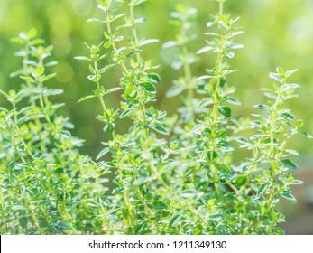 Fresh thyme herb grow, lemon thyme plants in sun light, herbal background.