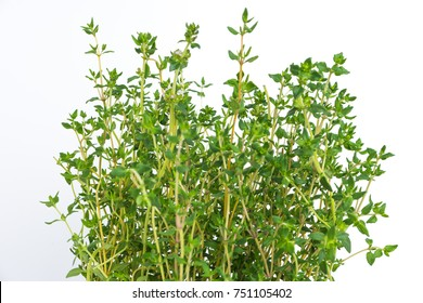 Fresh thyme herb grow. Fresh organic flavoring thyme plants growing. Nature healthy flavoring thyme cooking. Ingredients for food on white background