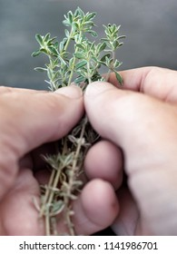 Fresh thyme in woman's hands.