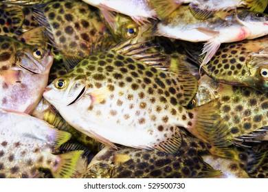 Fresh Tiger barb or Sumatra barb Puntius tetrazona tropical aquarium fish.