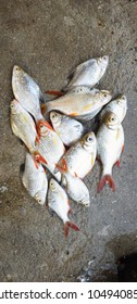 A fresh tilapia fishes