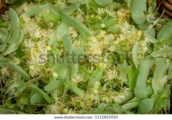 Fresh Tilia flowers as a background. Close up of Linden flowers in a basket. Tilia flowers are medicinal herb, used for herbal teas, good for colds, fever.