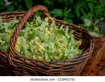 Fresh Tilia flowers in a basket in garden. Close up of Linden flowers in a basket.