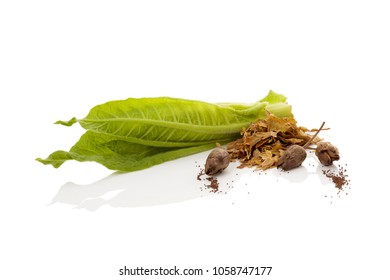 Fresh tobacco leaf with dried leaves and seeds isolated on white background.