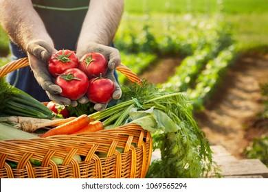 Fresh tomato in gardener hands above wicker basket