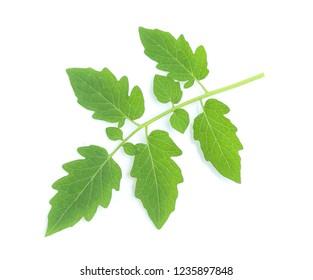 fresh tomato leaf on white background