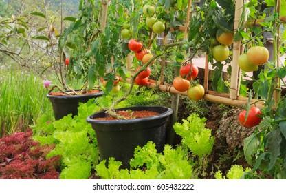 Fresh Tomato And Lettuce In Nontoxic Vegetable Garden.