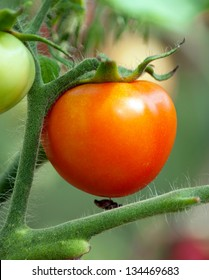 Fresh tomato on the branch