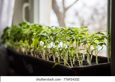 Fresh tomato seedlings growing on a windowsill