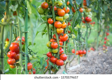 Fresh tomatoes grown in a private garden