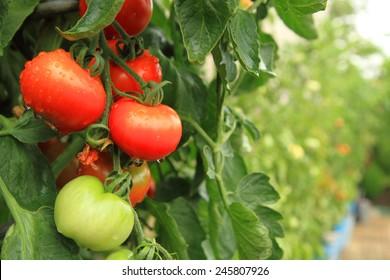 fresh tomatoes plants