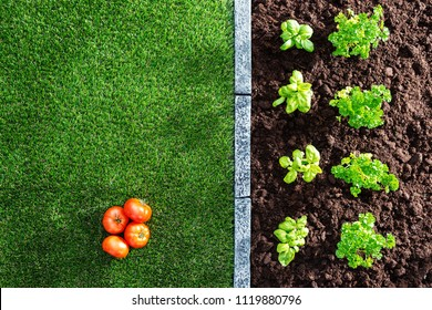 Fresh tomatoes and plants growing in the garden, farming and healthy vegetables concept
