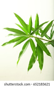 Fresh tropical mango tree leaves in branch on a white background.