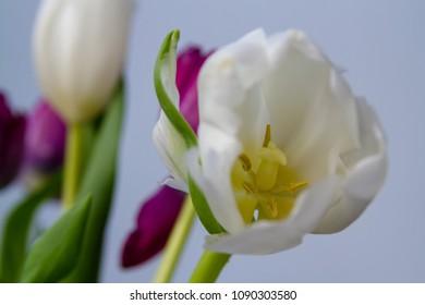 fresh tulip bloom