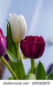 fresh tulip blooms