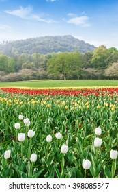 Fresh tulips blooming in the spring garden