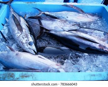 Fresh tuna fish in ice bucket in auction fish market in Chiba Japan