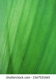 Fresh turmeric leaves - Zoom in