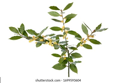 Fresh twig of yellow flowering bay laurel close up on white background - Shutterstock ID 1699593604