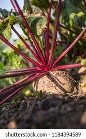 Fresh vegatables from garden - Shutterstock ID 1184394589