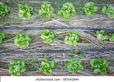 Fresh vegetables garden.