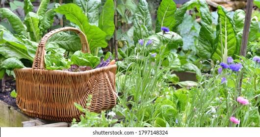 fresh vegetables in a wicker basket harvesting in garden