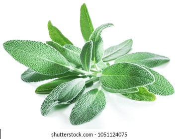 Fresh velvet leaves of garden sage on the white background.