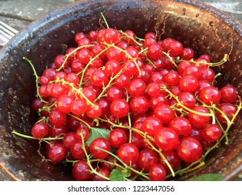 Fresh very red redcurrants in a cup harvestet in Germany