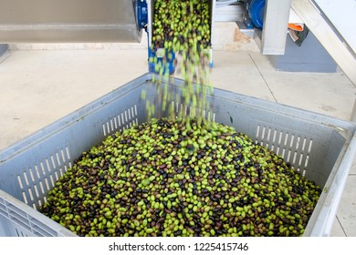 Fresh virgin olive oil production at a cold-press factory after the olive harvesting, black and green olives