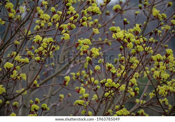 Fresh vivid green flower buds on maple tree branches with a dreamy effect from selective focus and bokeh background.