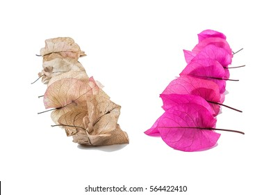 Fresh VS dry/Bougainvillea from fresh to dry/Romantic beautiful background material