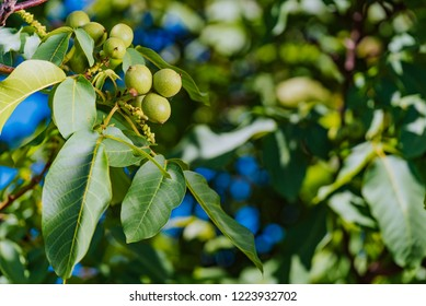 Fresh walnuts hanging on a tree in the blue background. Green walnut brunch with fruits.