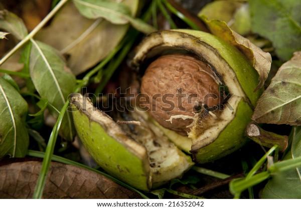 fresh walnuts from tree