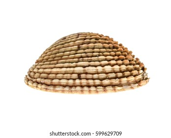 Fresh Warty venus clam - Fasolara (venus verrucosa) shell isolated. Saltwater mussel is often used as culinary speciality with sea food. Isolated on white background.