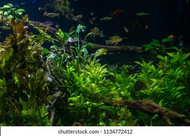 Fresh water aquarium with fish and vegetation
