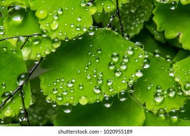 Fresh water drops green foliage backdrop background wallpaper